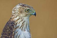A Cooper's Hawk, Accipiter cooperii, portrait closeup Stock Photos