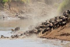 Wildebeest migration Stock Photos