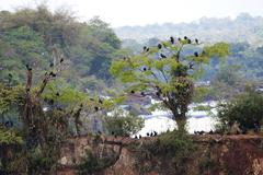 Black Vulture, Coragyps atratus group roost in trees in front of Iguassu Falls Stock Photos