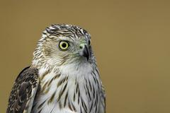 A Cooper's Hawk, Accipiter cooperii, portrait Stock Photos