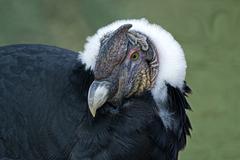 Andean Condor, Vultur gryphus Stock Photos