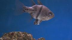 Black Spot Cardinalfish Stock Footage