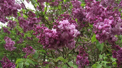 Lilac, syringa vulgaris Paul Deschane - in bloom Stock Footage