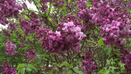 Stock Video Footage of Lilac, syringa vulgaris Paul Deschane - in bloom