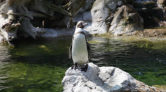 Happy penguin staying on rock Stock Footage
