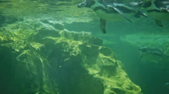 Several pinguins under water Stock Footage