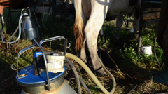 Milker peasant man put modern milking equipment pumps on cow dug Stock Footage