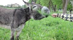 Donkey animal closeup and farmer woman girl hand feeding grass Stock Footage