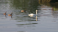 Stock Video Footage of Swan and geese swimming in water