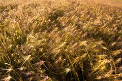Barley field at bright sunny day Stock Photos