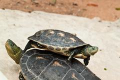 Hermann's tortoise Stock Photos