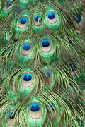 Beautiful exotic peacock feathers Stock Photos