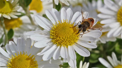 Bee collecting pollen Stock Footage