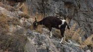 Stock Video Footage of Goat at Rhodes, Greece