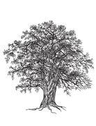 Oak tree - stock illustration