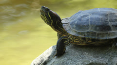 Red-Eared Slider Turtle Stock Footage