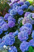 Blue Hydrangea Flowers Stock Photos
