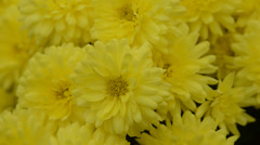 Stock Video Footage of yellow autumn asters move in the wind
