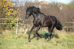 nice andalusian stallion running on pasturage - stock photo
