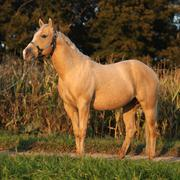 nice palomino horse in sunset - stock photo