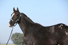 Black appaloosa mare with western halter Stock Photos