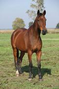 Nice brown warmblood standing in autumn Stock Photos