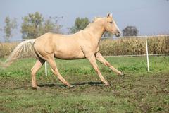 palomino quarter horse running on pasturage - stock photo