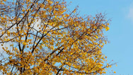 Stock Video Footage of autumn branches HD