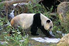 Giant panda bear walking in Vienna zoo - stock photo
