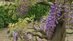 Wisteria sinensis, a wooden climber + tilt up cluster of flowers Stock Footage