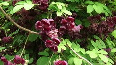 Chocolate Vine or Five-leaf Akebia in full bloom - close up + pan Stock Footage