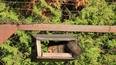 Squirrel gnaws nuts Stock Footage