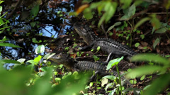 Two baby alligators resting on a swamp bank - stock footage
