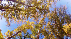 High angle view looking to the tops of giant redwood trees Stock Footage