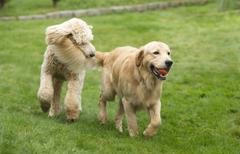 happy golden retreiver dog with poodle playing fetch dogs pets - stock photo