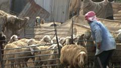 Bedouin herder opens the fence Stock Footage