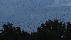 Thousands of starlings fly 22 Stock Footage