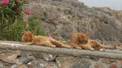Funny twin orange cats sitting on a stone wall in Lindos, Greece, cleaning fur Stock Footage
