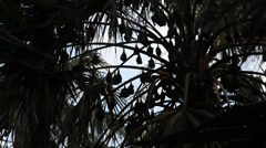 Flying foxes in trees 2 Stock Footage