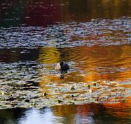 van dusen duck vancouver - stock photo