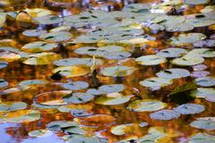 gold blue lily pads water reflections van dusen gardens - stock photo
