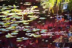 lily pads fall colors water reflections van dusen gardens vancouver canada - stock photo