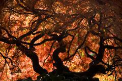 japanese maple fall van dusen garden vancouver - stock photo