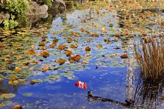 lily pads canadian flag leaves water reflection fall colors van dusen gardens - stock photo