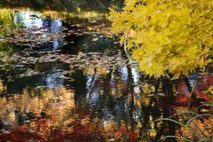 yellow tree water reflections van dusen gardens - stock photo