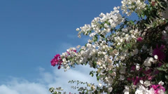 White pink bougainvilia against the sky Stock Footage