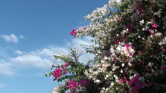 White pink bougainvilia against the sky 2 Stock Footage