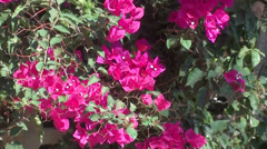 Pink bougainvilia and fence zoom out Stock Footage