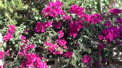 Pink bougainvilia and fence zoom in Stock Footage
