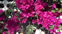 Pink bougainvilia and fence close up Stock Footage
